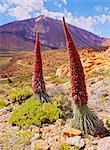 Spain, Canary Islands, Tenerife, Teide National Park, View of the Endemic Plant Tajinaste Rojo, Echium Wildpretii, and Teide Peak.