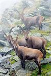 Europe, Switzerland, Bernese Oberland, Interlaken, Unesco area, Alpine ibex (Capra ibex) or Steinbock