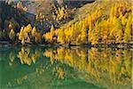 Larch Trees in Autumn on Shore of Lai da Palquogna, Albula-Pass, Grisons, Switzerland