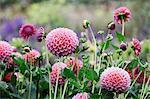 A commercial organic flower nursery bed, pink globe dahlias.