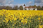 Flowering yellow field