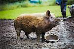 A pig stood in a muddy field next to a feeding bucket.