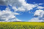 Rape field and clouds