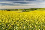 Expansive canola crop,