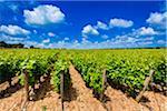 Rows of Grapevines in Vineyard near Alberobello, Puglia, Italy