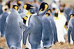 King penguins (Aptenodytes patagonicus), Volunteer Point, East Falkland, Falkland Islands, South Atlantic, South America