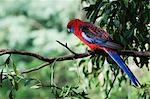 Crimson rosella, Dandenong Ranges, Victoria, Australia, Pacific