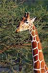 Reticulated giraffe (Giraffa camelopardalis reticulata) feeding, Samburu National Reserve, Kenya, East Africa, Africa