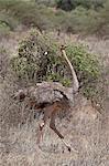 Female Somali ostrich (Struthio molybdophanes), Samburu National Reserve, Kenya, East Africa, Africa