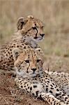 Two Cheetah (Acinonyx jubatus) cubs, Masai Mara National Reserve, Kenya, East Africa, Africa