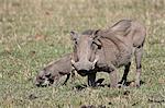 Warthog (Phacochoerus aethiopicus) mother and baby, Masai Mara National Reserve, Kenya, East Africa, Africa