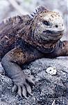 Marine iguana (Amblyrhynchus cristatus), Isabela Island, Galapagos Islands, Ecuador, Pacific, South America