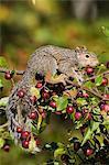 Eastern gray squirrel (Sciurus carolinensis) in a crab apple tree, in captivity, Minnesota Wildlife Connection, Sandstone, Minnesota, United States of America, North America