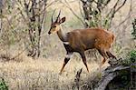 Male bushbuck (Tragelaphus scriptus), Masai Mara National Reserve, Kenya, East Africa, Africa
