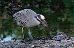 "Yellow-crowned night heron (Nyctanassa violacea), J. N. ""Ding"" Darling National Wildlife Refuge, Florida, United States of America, North America"
