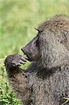 Olive baboon (Papio cynocephalus anubis) eating, Serengeti National Park, Tanzania, East Africa, Africa