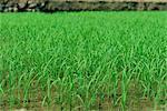 Rice growing at Longsheng, Guangxi Province, China, Asia