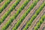 Vineyards, Tuscany, Italy