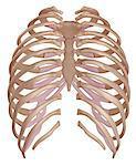 Human ribcage, illustration.