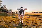 Sweden, Uppland, Grillby, Lindsunda, Cows (Bos taurus) grazing in field at sunset