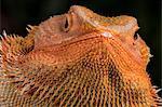 Bearded Dragon (Pogona Vitticeps), captive, Australia, Pacific
