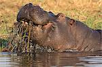 Hippopotamus (Hippopotamus amphibius) feeding, Chobe River, Botswana, Africa