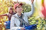 Female farmer harvesting apples in sunny orchard