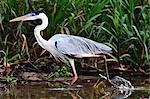 Cocoi heron (Ardea Cocoi), Pantanal, Mato Grosso, Brazil, South America