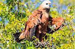 Black collared hawk (Busarellus Nigricolis), Pantanal, Mato Grosso, Brazil, South America