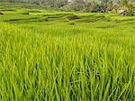 Rice paddies, Bali, Indonesia, Southeast Asia, Asia