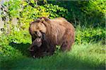 European Brown Bear (Ursus arctos) Mother with Cub, Bavaria, Germany