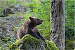 European Brown Bear Cub (Ursus arctos) in Forest, Bavaria, Germany
