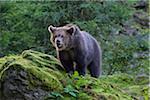 Portrait of European Brown Bear Cub (Ursus arctos), Bavaria, Germany