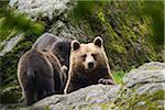 European Brown Bear (Ursus arctos) Mother with Cubs, Bavaria, Germany