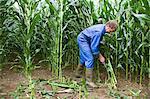 farmer cutting corn stalks