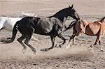 Horses running in dusty pen
