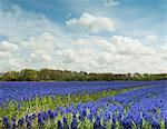 Purple hyacinth field, Egmond, Netherlands