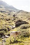 Side view of cow grazing on mountain, Partenen, Vorarlberg, Austria