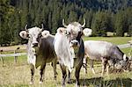Portrait of cows wearing cowbells in valley, Ehrwald, Tyrol, Austria