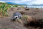 A magellanic penguin on Martillo Island, Tierra del Fuego, Argentina, South America