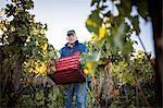 Portrait of senior man carrying grape crate in vineyard