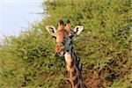 Free Giraffe with birds in Tsavo National Park. Kenya
