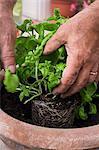 Hands planting basil in a flowerpot