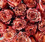 Roses, full frame