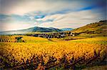 Field landscape with autumn coloured vines, Turckheim, Alsace, France