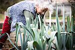 Mature woman tending leeks in garden