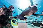 Diver beside Hammerhead Shark, underwater view, Bimini, Bahamas