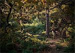 Deer in woodlands, West Midlands, UK