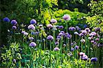 Purple Allium in a garden.