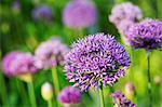 Close up of purple Allium flowers.